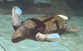 2014年4月、人工ひれを装着し、水槽を泳ぐアカウミガメの「悠ちゃん」=神戸市立須磨海浜水族園