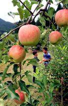 猛暑が和らぐ中、赤く色づいたリンゴ=宍粟市波賀町原