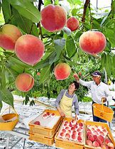 モモの収穫が始まった加藤さん方のビニールハウス=伊達市梁川町