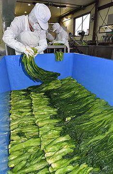 青菜漬け作り、最盛期