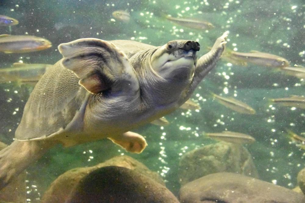 たくさんの魚たちを気にせず泳ぐスッポンモドキ