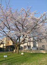 満開が観測された青森地方気象台のソメイヨシノ=22日、青森市