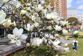 春の日差しを浴び、真っ白に咲き誇るハクモクレン=鹿児島市新屋敷町