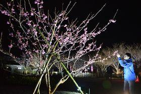 ライトアップされた「土肥桜」=伊豆市の土肥金山