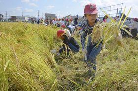 黄金色に実った「奇跡の復興米」をルーツにする稲を刈り取る児童ら=18日、大阪府富田林市