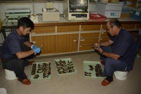 アコヤガイ母貝のモニタリング調査で、貝を開ける漁業関係者ら=宇和島市