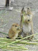 プレーリードッグもぐもぐ 赤ちゃんすくすく 高知県立のいち動物公園
