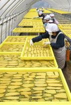 黄色い芋で一色となったビニールハウス内=25日午前10時10分、足利市県町
