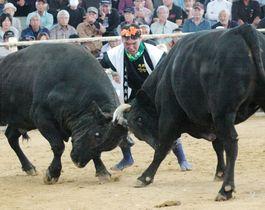 巨牛が激しくぶつかり合う闘牛大会=伊仙町目手久の徳之島なくさみ館