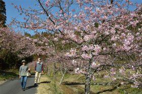 清流沿いに咲き誇る河津桜=御前崎市比木の福田沢