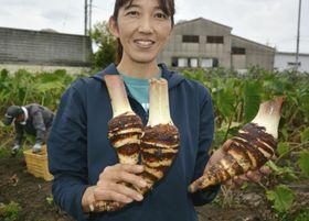 収穫が始まった高級食材「エビイモ」=21日、大阪府富田林市