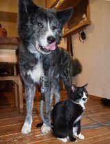 そっくりの風貌と仲の良さが人気の秋田犬の風雲丸と猫の雷蔵