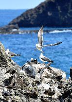 ウミネコの繁殖期を迎え、親鳥がひな鳥に寄り添う姿が見られる=鶴岡市三瀬