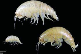 マリアナ海溝で見つかった新種のオキソコエビ「エウリセネス・プラスティクス」の幼生(左下)と成体(英ニューカッスル大提供)