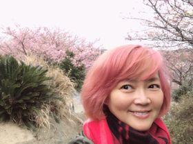河津桜がいま見ごろの三浦半島