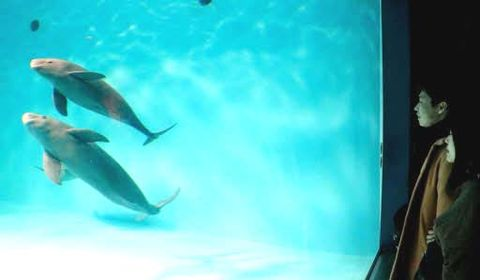 展示プールでコハル(下)に寄り添うように泳ぐスナメリの子ども