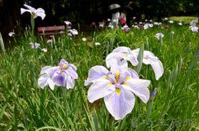 鮮やかに咲き始めたハナショウブ=25日、智光山公園内の花菖蒲田