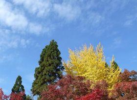 小春日和の青空に映える黄葉と紅葉=筆者撮影