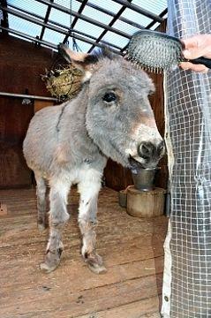 新たに須坂市動物園が飼育を始めたロバのアイボン。穏やかな性格という