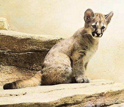 来園者に元気な姿を見せるピューマの赤ちゃん=静岡市駿河区の日本平動物園