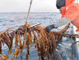 海中からロープを引き上げ、早採りワカメを刈り取る漁業者=11日午前7時15分、宮古市・重茂沖