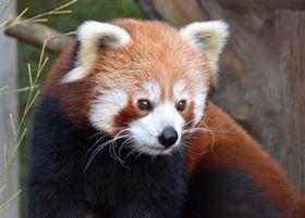 耳と顔の白い毛が目立つニシレッサーパンダ。おなか側は黒い