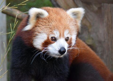 (500)そばに行くと目があうことも ニシレッサーパンダ