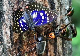 カブトムシやコガネムシと一緒に樹液を吸うオオムラサキ