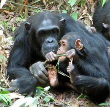 タンザニアのマハレ山塊国立公園で、母親に抱かれ植物の茎を食べるチンパンジーの子ども(松本卓也研究員提供)
