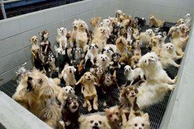 福井県坂井市の動物販売業者の施設内で飼育される犬=2017年12月ごろ(日本動物福祉協会提供)