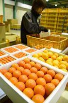 JA串間市大束で出荷作業が行われている「あかたま」。奥の一般的なキンカンと比べると赤みが強い=串間市奈留の同JA選果場