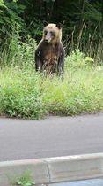 国道230号沿いに姿を見せ、横断するそぶりを見せたヒグマ=17日午後4時40分ごろ、札幌市南区豊滝(西野正史撮影)