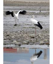 龍満池に飛来した2羽のコウノトリ。右が「みほと」、左が「たから」=22日午前10時26分、高松市香川町