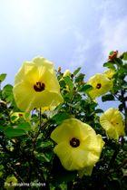 黄色の花が次々と咲いているハマボウの群生=鳴門市瀬戸町