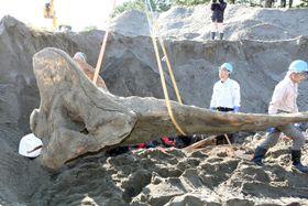 つり上げられるマッコウクジラの頭骨=13日午後、徳島県阿南市