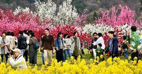 満開の花を楽しむ家族連れらでにぎわう花ももの里まつり会場