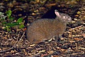 世界自然遺産候補地の奄美大島の照葉樹林に生息するアマミノクロウサギ=奄美市住用
