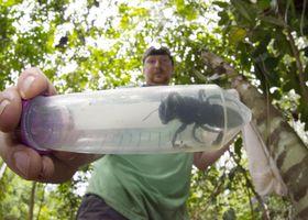 インドネシア・北マルク州で発見された世界最大のハチ=1月(クレイ・ボルト氏提供、共同)