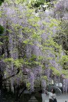 鈴なりの花が満開となったフジ=佐世保市、藤山神社