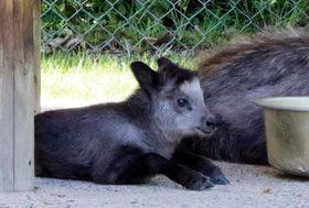 日陰で涼むニホンカモシカの赤ちゃん