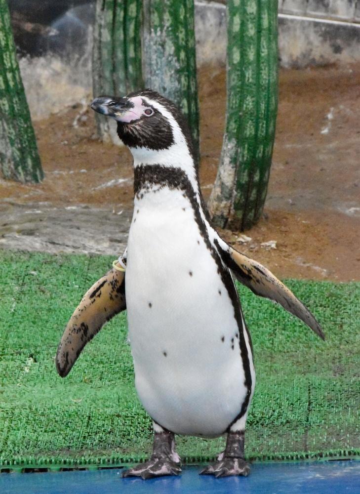 背のびするようにしてつばさを広げるフンボルトペンギン。後ろにサボテンが見える
