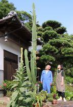 高さ約4メートルまで成長したハシラサボテンを見上げる藤原さん(左)と妹の高田とも子さん=平戸市大久保町