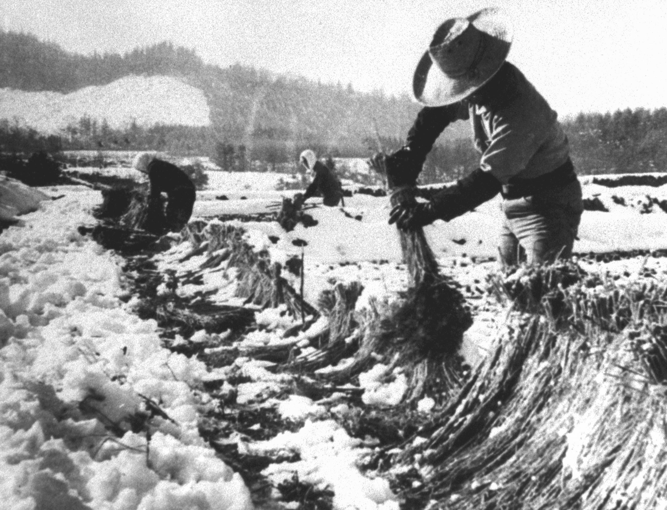 1964年10月、雪が積もった北海道の水田