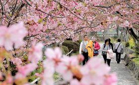 見ごろを迎えた河津桜を楽しむ観光客ら(京都市伏見区淀木津町)