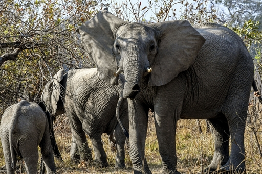 アフリカ南部ザンビアのカフエ国立公園で生息するアフリカゾウの群れ。密猟者の標的になっている=2018年8月(共同)