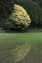 黄色の葉が周囲の緑と鮮やかなコントラストを描く七色樫