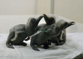「アドベンチャーワールド」で相次ぎ誕生したキングペンギンの赤ちゃん=20日、和歌山県白浜町