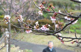 開花が始まったカンザクラ=伊東市富戸のニューヨークランプミュージアム&フラワーガーデン