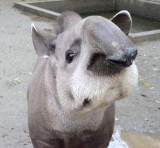 ブラジルバクが近よってきた。長い鼻、あいきょうのある顔だ