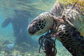 漁網に絡んで死んだウミガメ(米海洋大気局提供)
